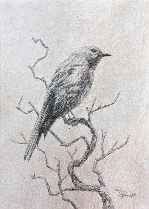 Image of Grey Shrike