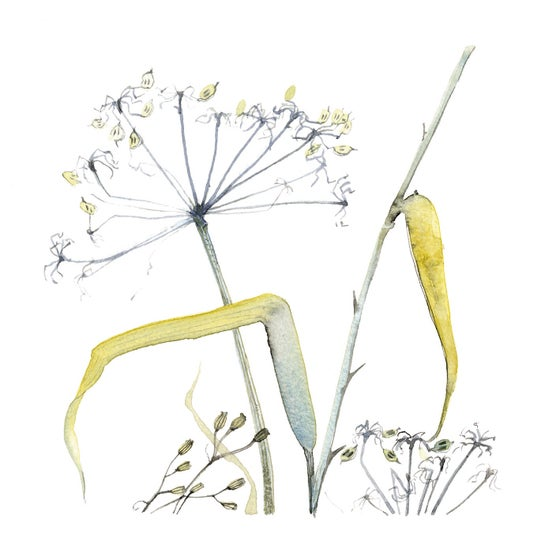 Image of Hogweed