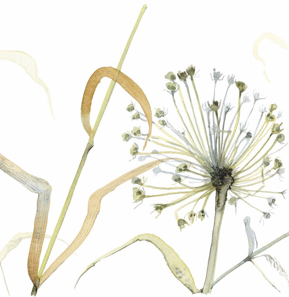 Image of Allium and Grasses