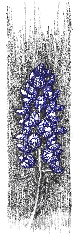 Image of Texas Bluebonnet Flower#2 Print 4x12