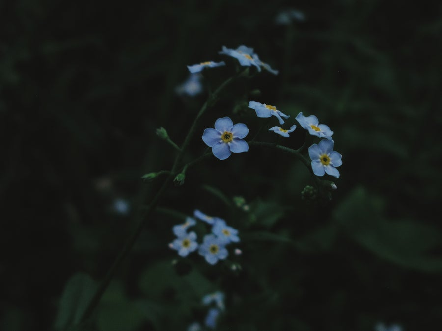 Image of Forget Me Not, Love