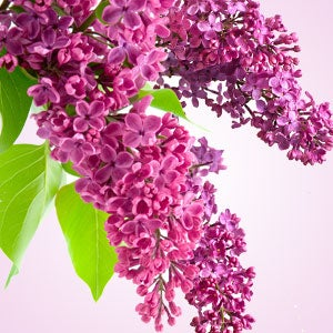 Image of Fragrance Oils L-P (15 ml / half ounce)
