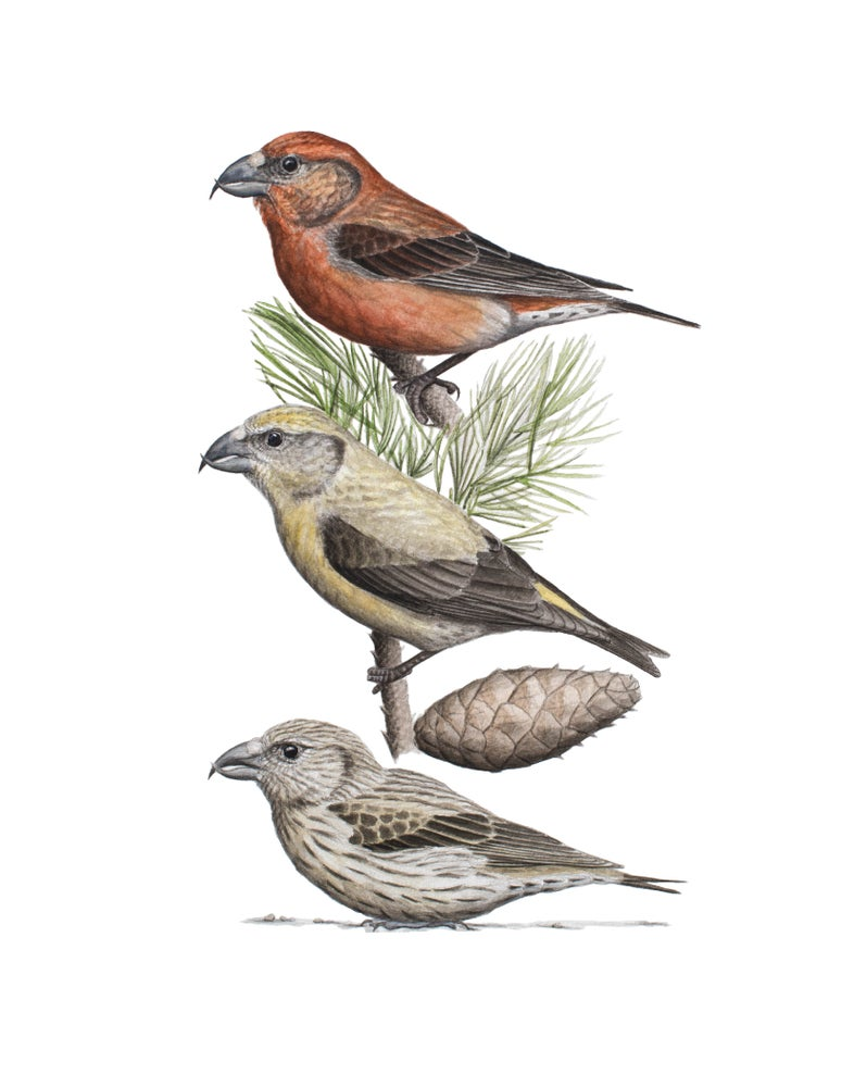 "Image of 11x14"" Limited Giclee Print: Cassia Crossbill and Rocky Mountain Lodgepole Pine"