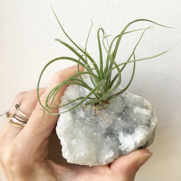 Image of Airplants | Tillandsias