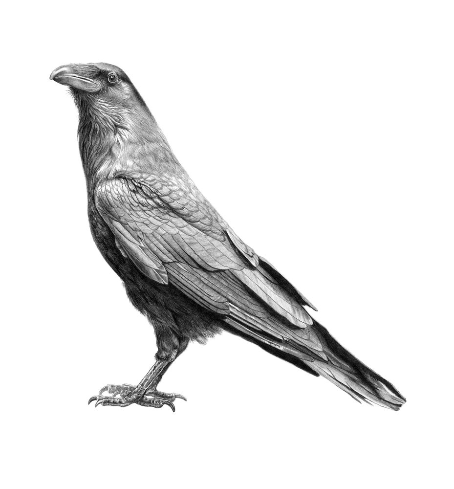 Image of Raven