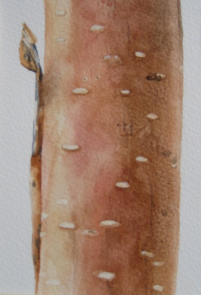 Image of Copper Birch 1