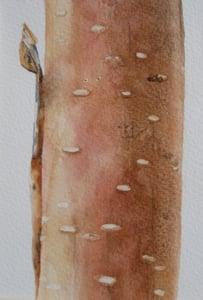 Image of Copper Birch 1