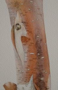 Image of Copper Birch 2