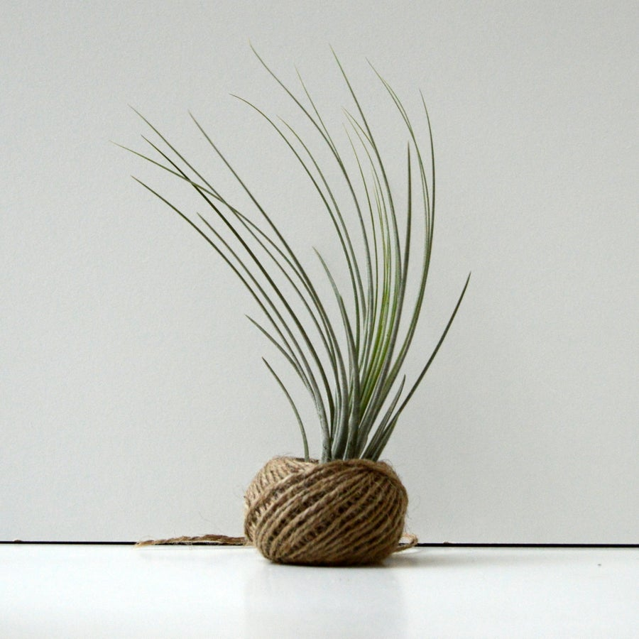 Image of juncea