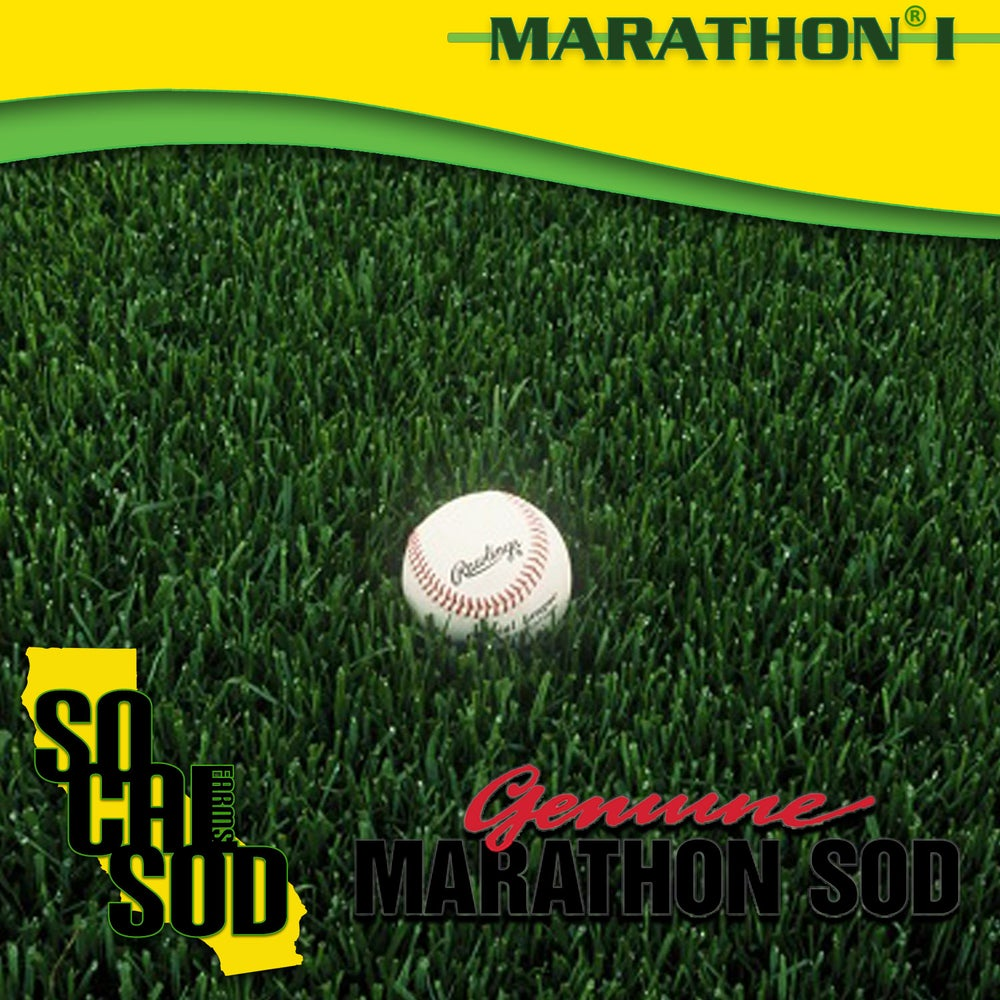 Image of MARATHON 1 - Evergreen Fescue