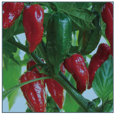 Image of Bhut Jolokia Pepper
