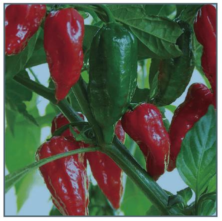 Image of Bhut Jolokia Pepper