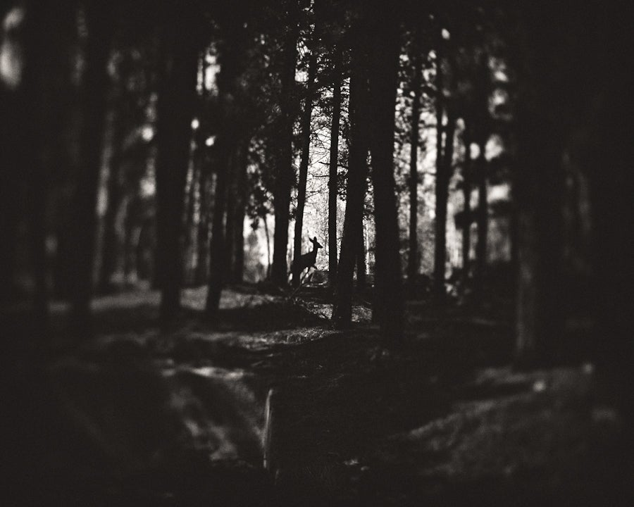 Image of Deer in the Woods