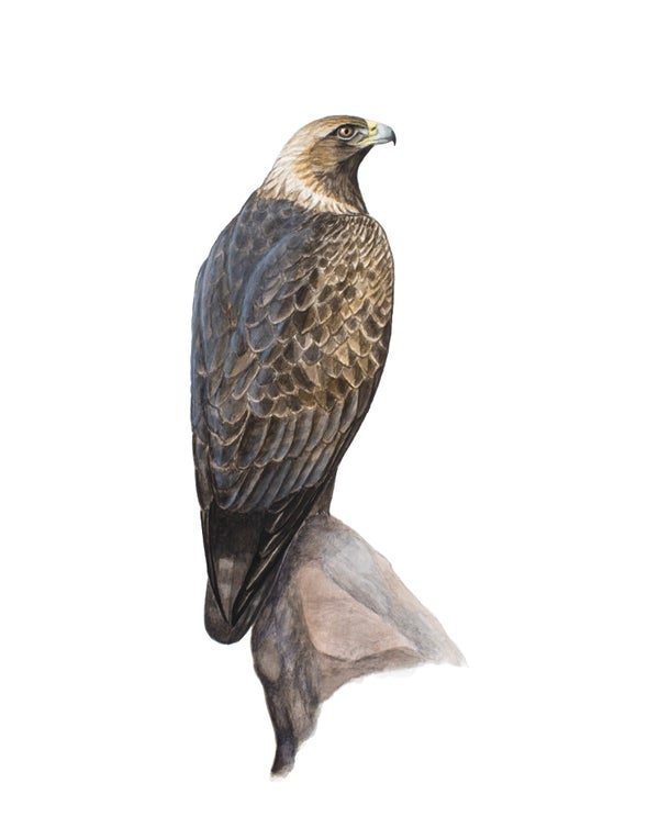 "Image of 11x14"" Limited Giclee Print: Perched Adult Golden Eagle"