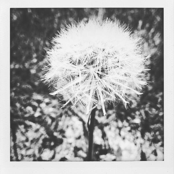 Image of dandelion dreams
