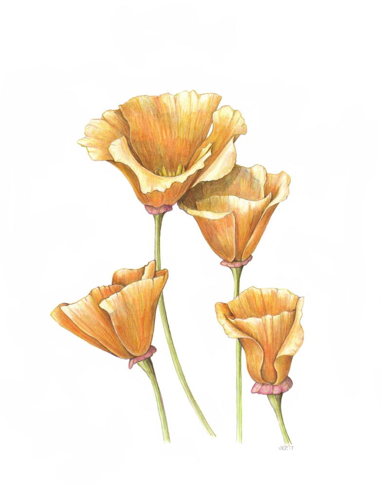 "Image of California Poppies Premium Giclee Print 8""x10"""