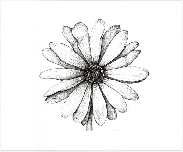 "Image of African Daisy Fine Art Print 12""x12"""