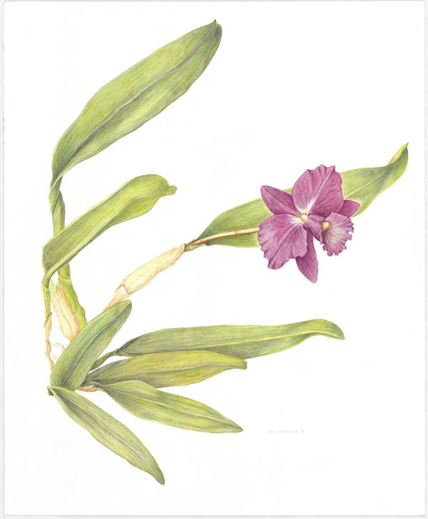 "Image of 'My Valentine' Orchid Art Print 8""x10"""