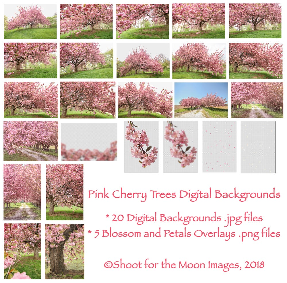 Image of Pink Cherry Trees Digital Backgrounds