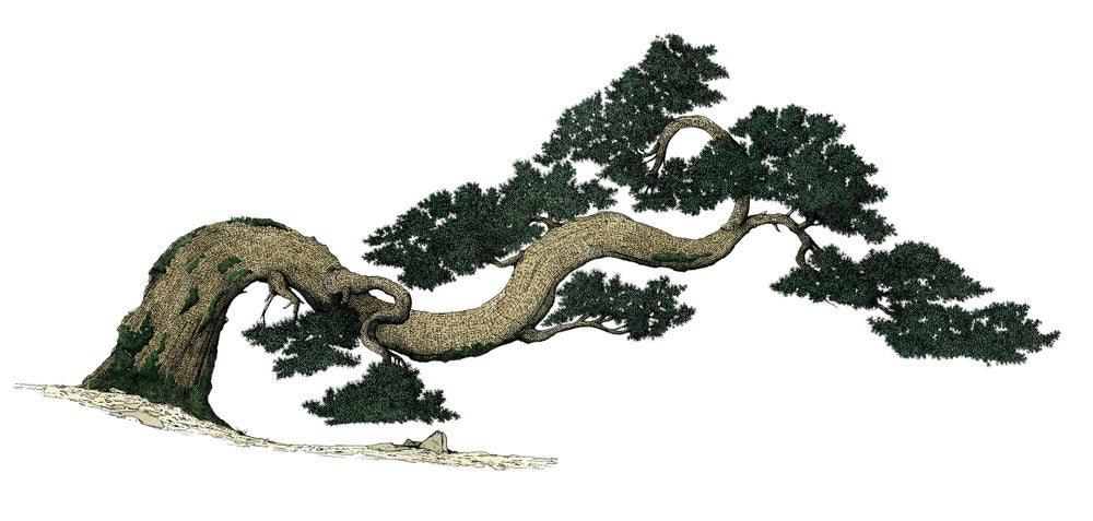 Image of Korean pine