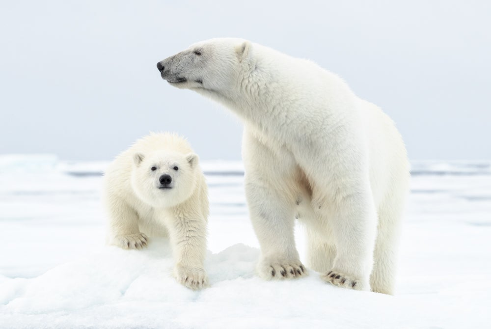 Image of Limited Edition Fine Art Print - Polar Bear Mother and Cub