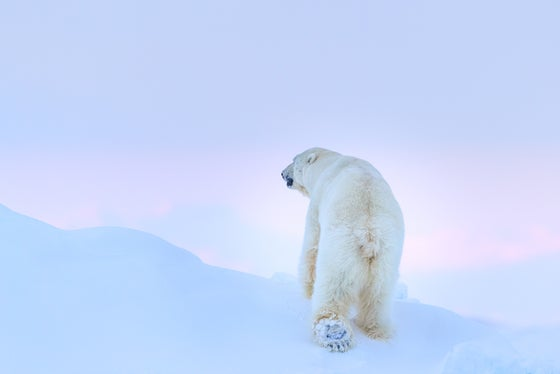 Image of Limited Edition Fine Art Print - Polar Bear Foot