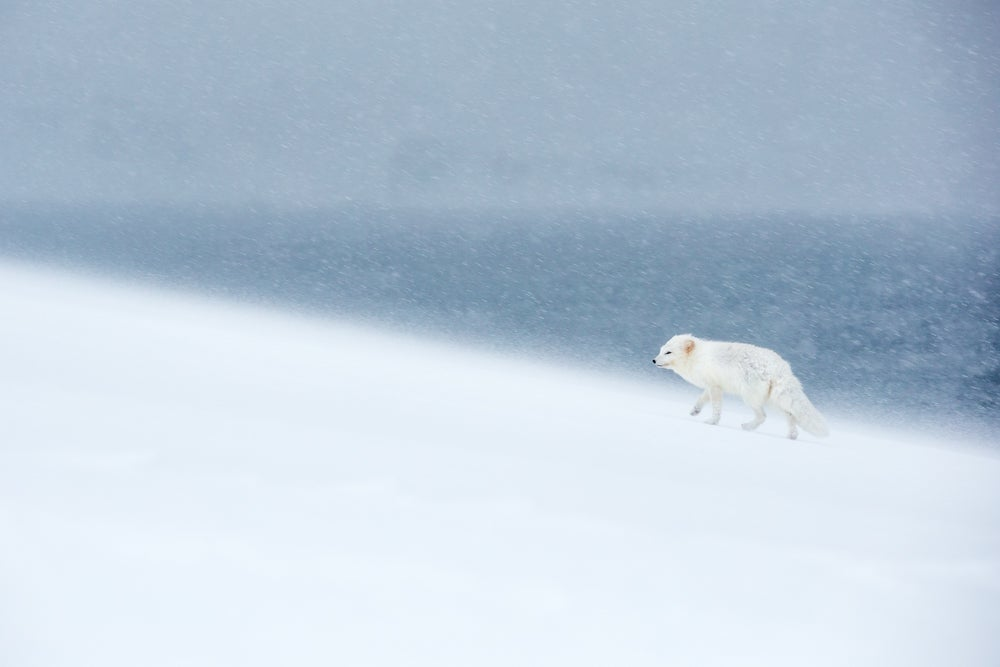 Image of Limited Edition Fine Art Print - Polar Fox
