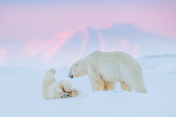 Image of Limited Edition Fine Art Print - Polar Bear Play