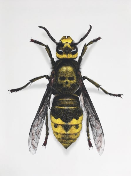 Image of Death's Head Hornet - Colour