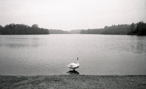 Image of LONE SWAN PRINT