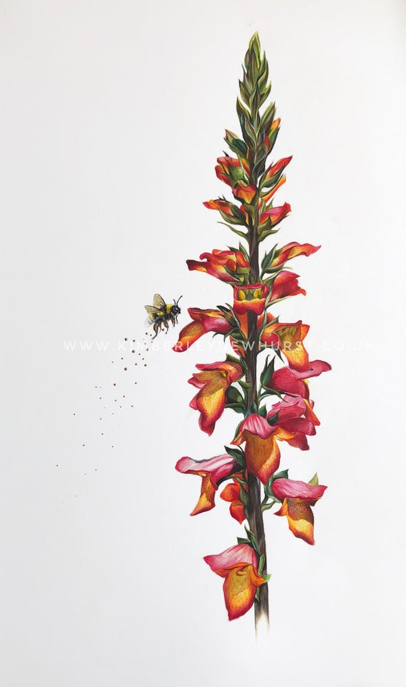 Image of 'Digitalis Foxlight Ruby Glow' Limited Edition Print