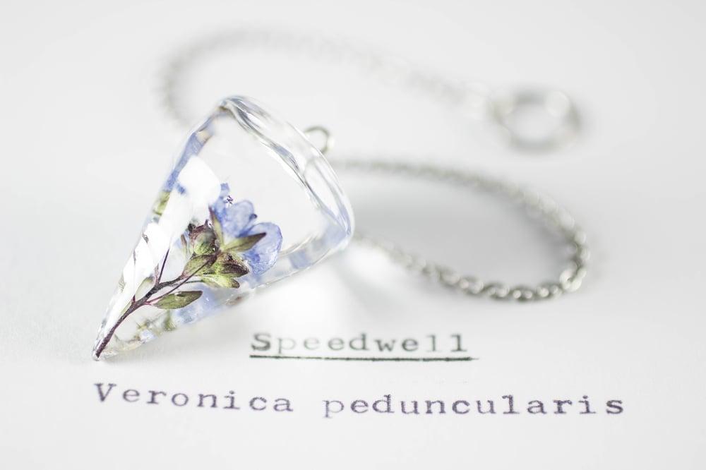 Image of Speedwell (Veronica peduncularis) - Pendulum #1