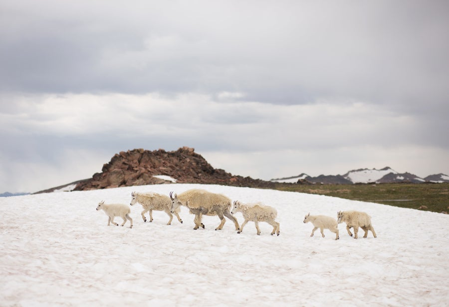 Image of Beartooth Mountain Goats 1 Print
