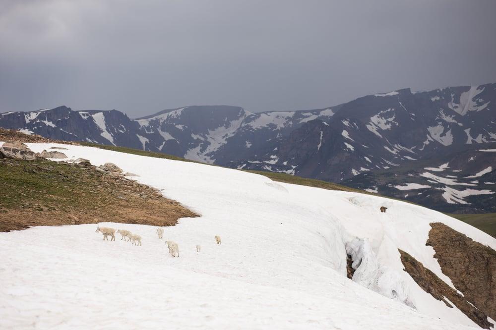 Image of Beartooth Mountain Goats 2