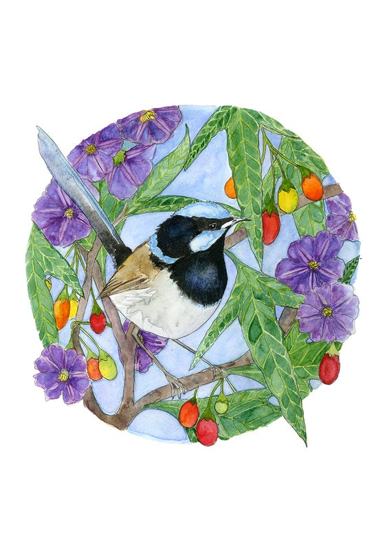 Image of Superb Blue Wren - Limited Edition Print