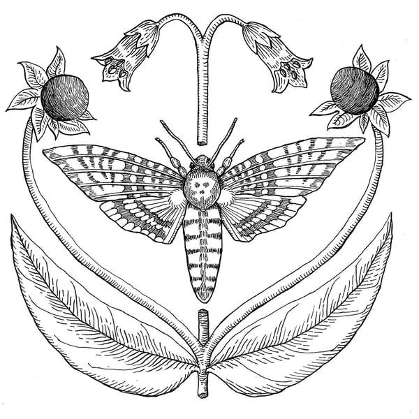 Image of Death's Head Hawkmoth & Belladonna