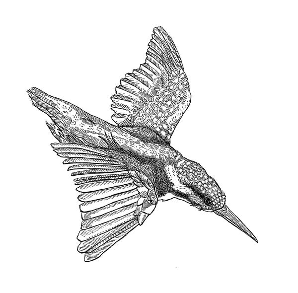 Image of The Kingfisher's Swoop