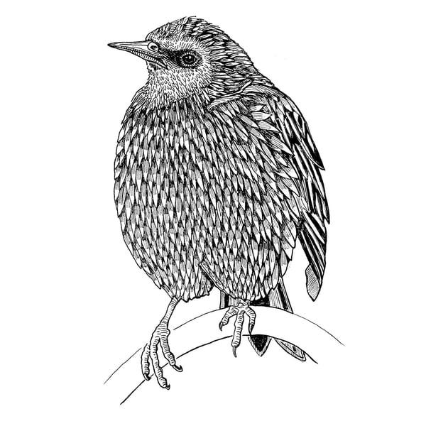 Image of Darling Starling