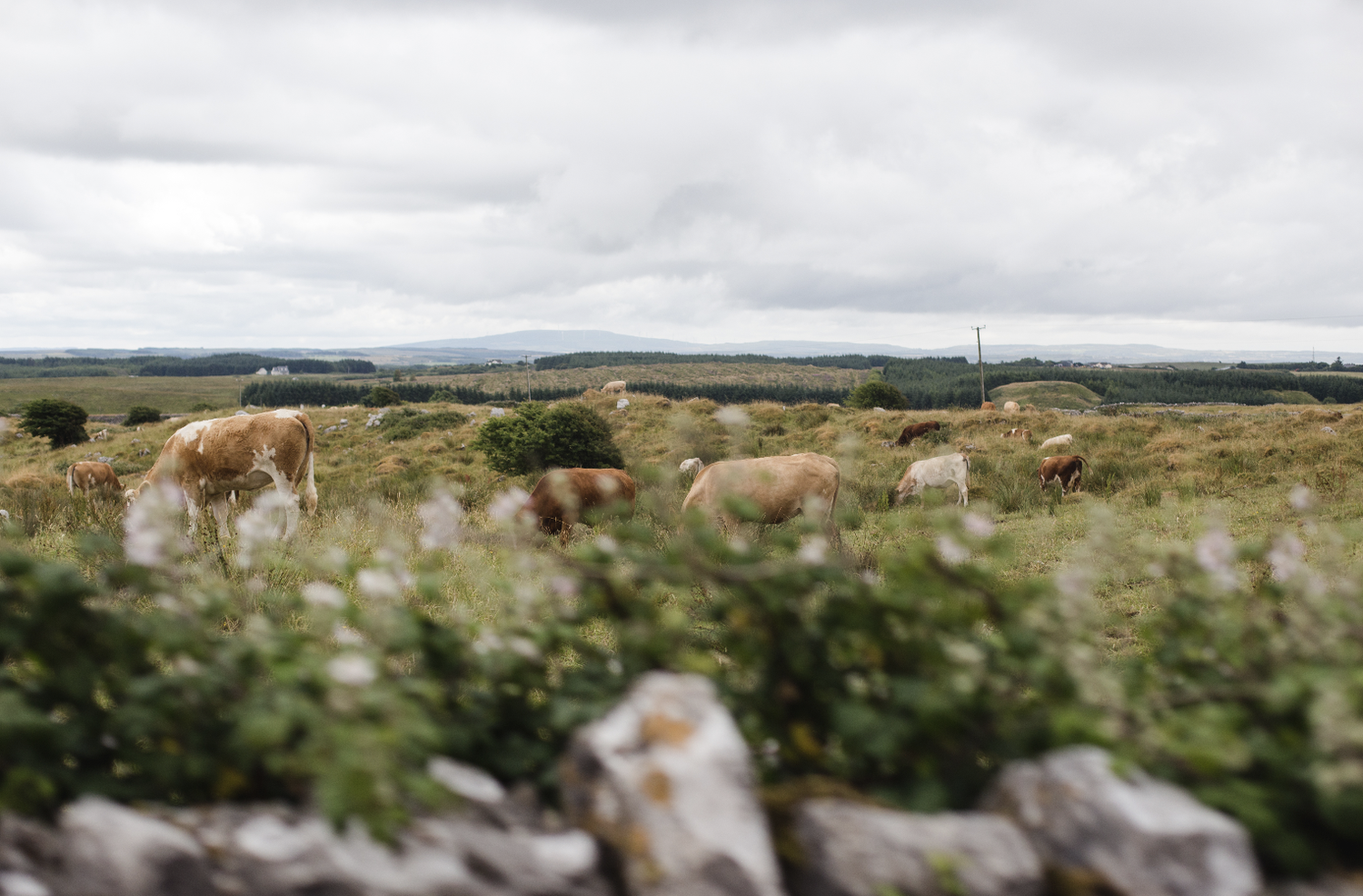 Image of Irish Cows