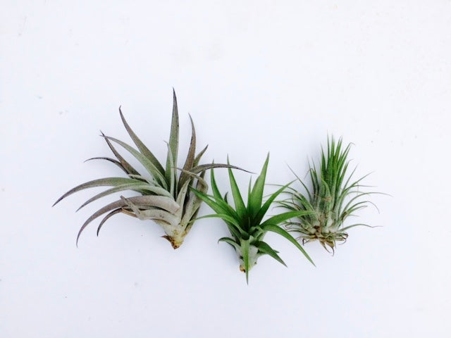 Image of Tillandsia starter trio no.1