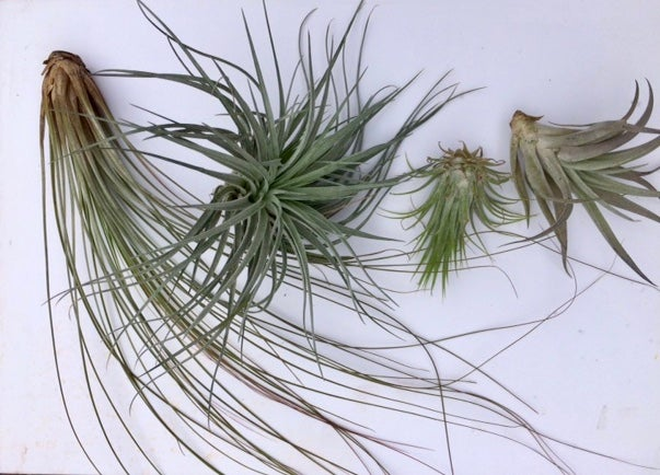 Image of Tillandsia 4 pack