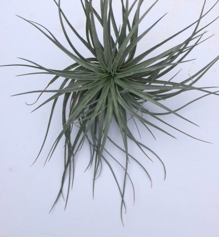 Image of Tillandsia stricta Candy floss