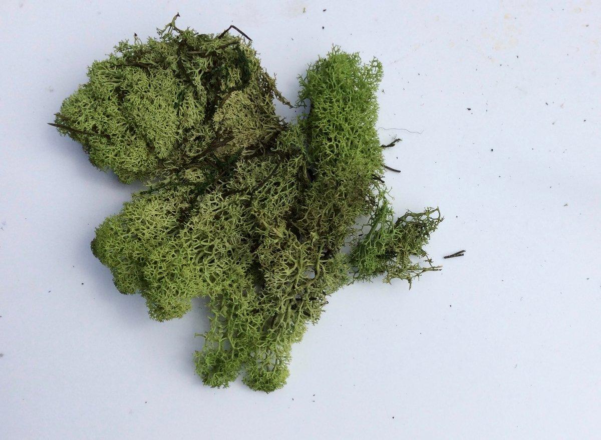 Image of reindeer moss