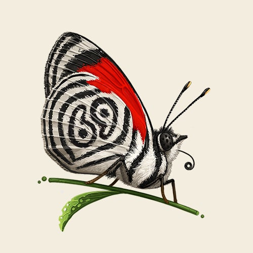 Image of Anna's Eighty-Eight Butterfly (variant)