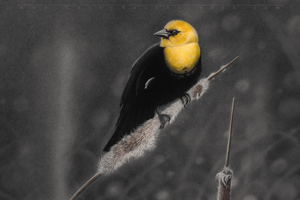 Image of Yellow-Headed Blackbird