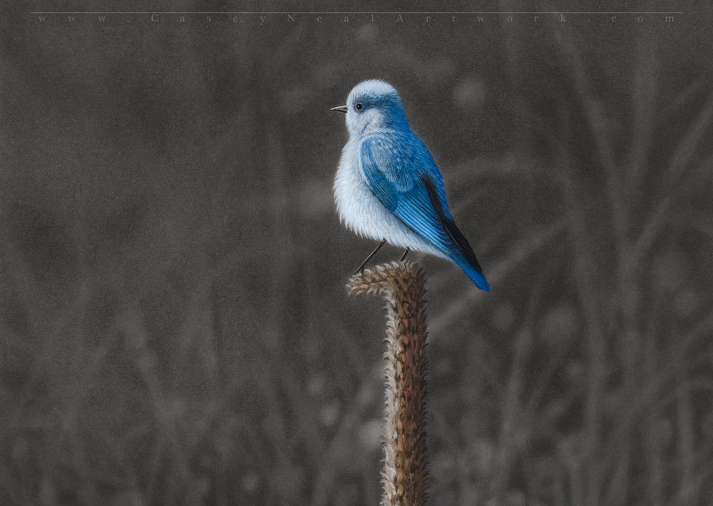 Image of Mountain Bluebird