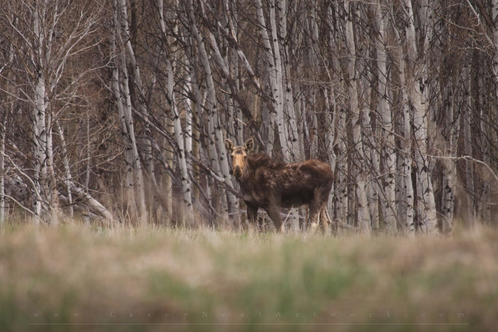 Image of Moose In Aspens