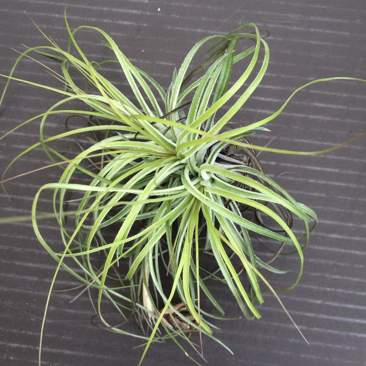 Image of Tillandsia stricta