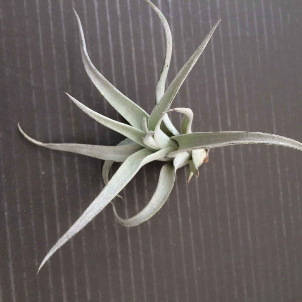 Image of Tillandsia harrisii