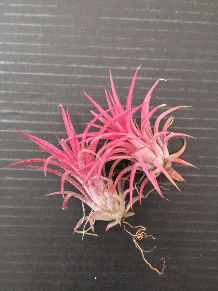 Image of Tillandsia ionantha red